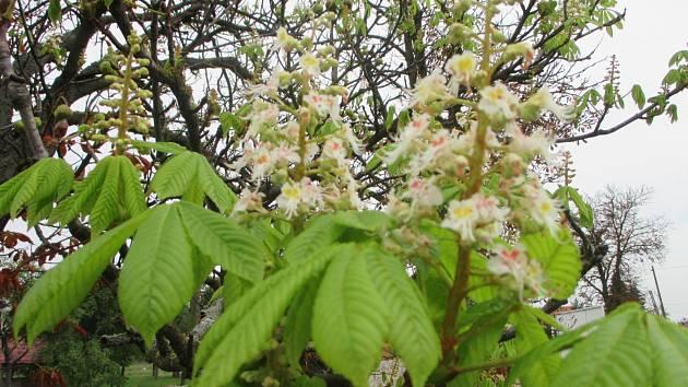 Květy v těchto dnech nasadil například i jírovec v aleji nedaleko Pavlic u hlavní silnice na Jihlavu.