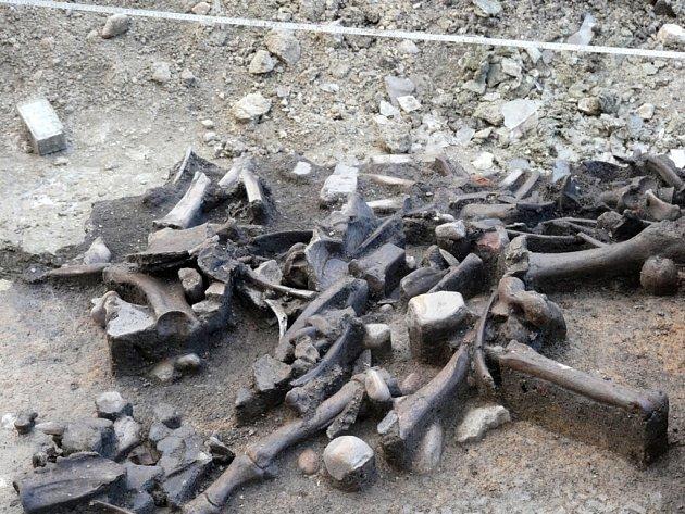 Nález kostí skotu z pozdní doby kamenné.