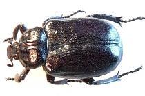 Vzácného brouka páchníka hnědého (Osmoderma eremita) objevili entomologové na vranovském zámku.