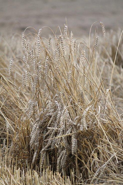 Obilí je někde na polích ještě i v druhé půlce srpna. Ze Znojma na Lesnou je takových míst hned několik.