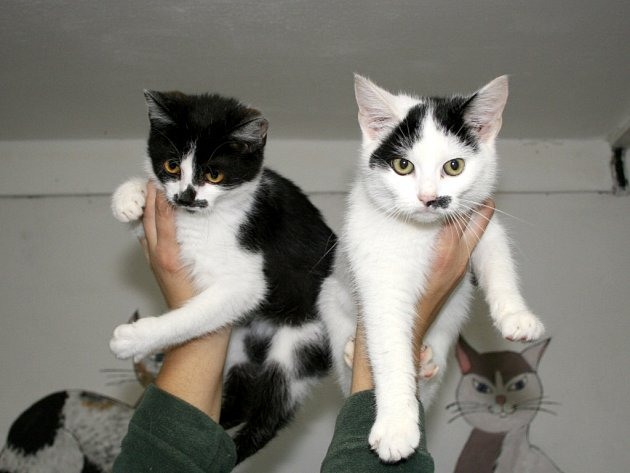 Žofka a Tomina - odrostlá koťata,mazlivá,čistotná