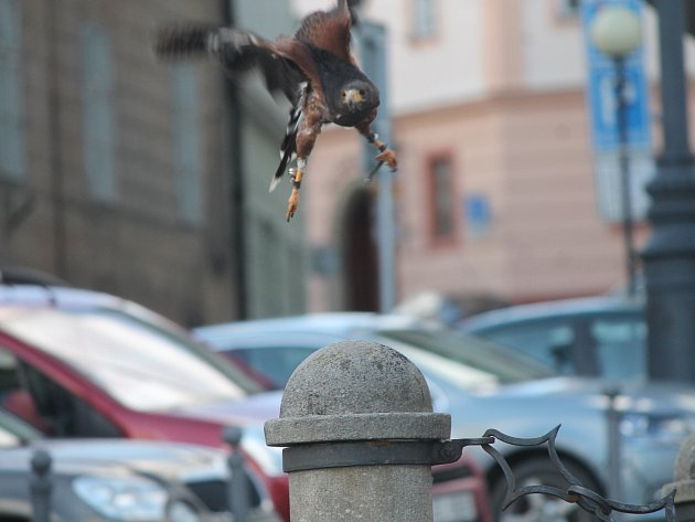 """Dravec """"Zorro"""" sokolníka Františka Miroše je teď postrachem holubů v centru Znojma."""