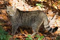 Divoká kočka se v Thayatalu znovu objevila před třemi lety.