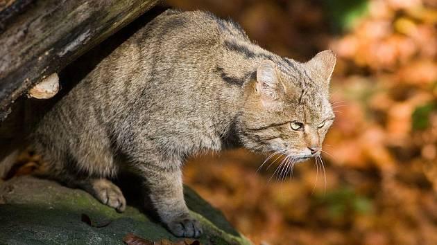 Kočka. Ilustrační fotografie.