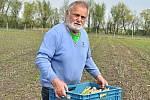 Chřest, lidově také špargl. V Hraběticích na Znojemsku začali se sklizní zeleného chřestu. Na snímku Jaroslav Bárta