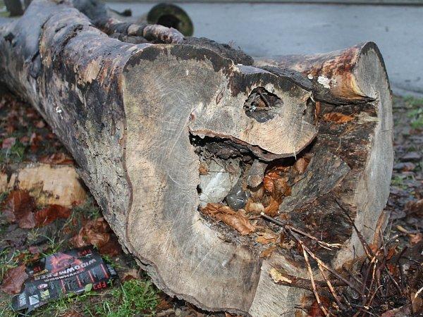 Při plánovaném kácení stromu ve znojemském Dolním parku přišly osvé zimoviště čtyři stovky netopýrů rezavých.