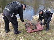 Záchrana bobra evropského, který ležel bezmocně na břehu Dyje ve Znojmě.