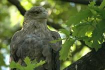 Rekordní počet zimujících orlů mořských napočítali v minulých dnech ornitologové na území Národního parku Podyjí. Zahlédli jich celkem šest.