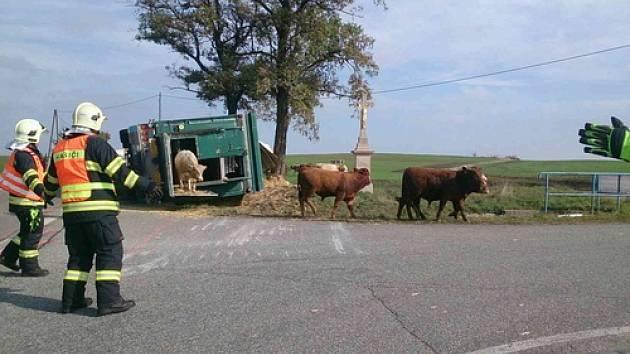 Nehoda kamionu zablokovala ve čtvrtek kolem jedné hodiny odpoledne provoz u obce Jamolice na Znojemsku. Nákladní auto převáželo bezmála sedmdesát mladých býků. Několik zvířat nehodu nepřežilo.