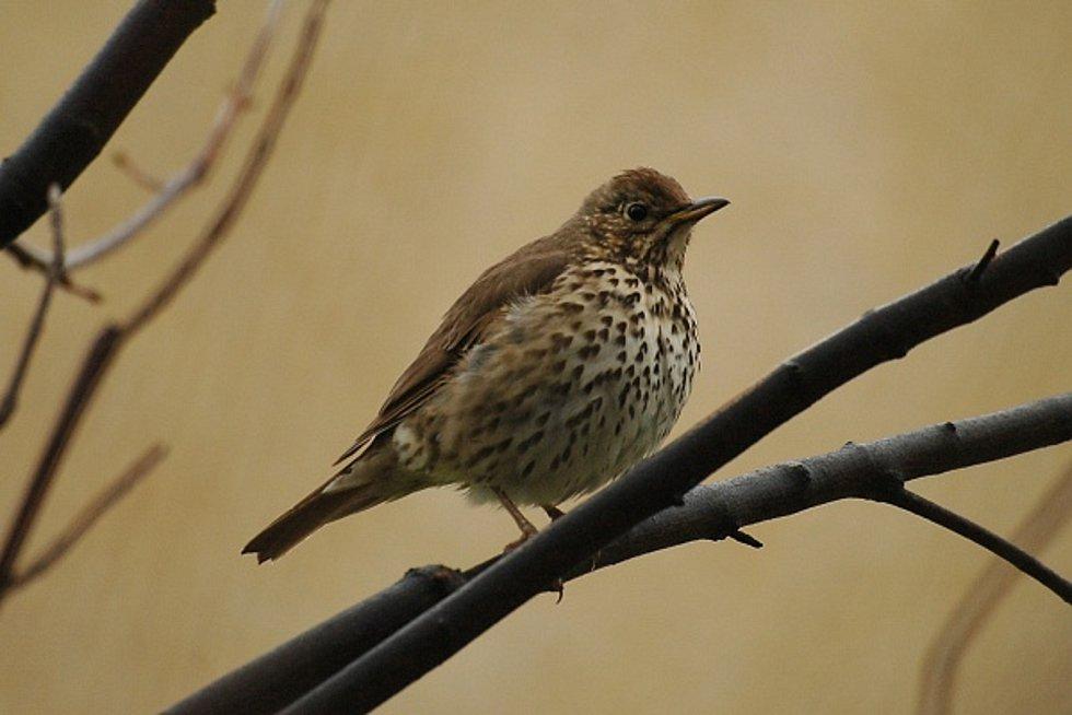 Dva nové druhy kachen i chřástala vodního a další druhy ptáků v rekordním počtu zaznamenali ornitologové v Národním parku Podyjí. Na snímku drozd zpěvný.
