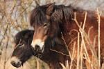Exmoorský pony.