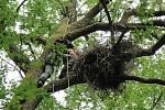 Do Podyjí se vrátil čáp černý. Dva páry vyvedly čtyři mláďata.