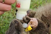 Péče o mláďata vyder vyžaduje kvalitní potravu.