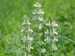 Šalvěj rakouská (Salvia austriaca) na hranicích Národního parku Podyjí.