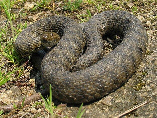 Užovka podplamatá Asi  jeden metr dlouhý had, který se živí převážně rybami. Její břicho je nažloutlé až červené, někdy však ostře zbarvené žlutě nebo oranžově s černými skvrnami, které jsou podobné kostkám.