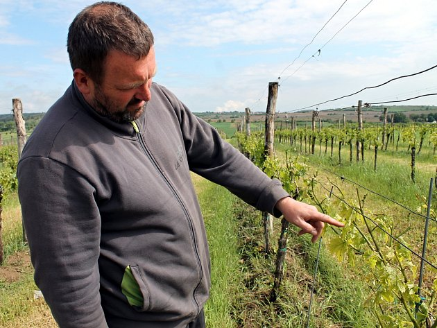Silné úterní krupobití poškodilo vinice u Hnanic a Šatova. Zasaženy byly silně i vinohrady Vinařství Kořínek, škody jsou podle Josefa Kořínka vážné.
