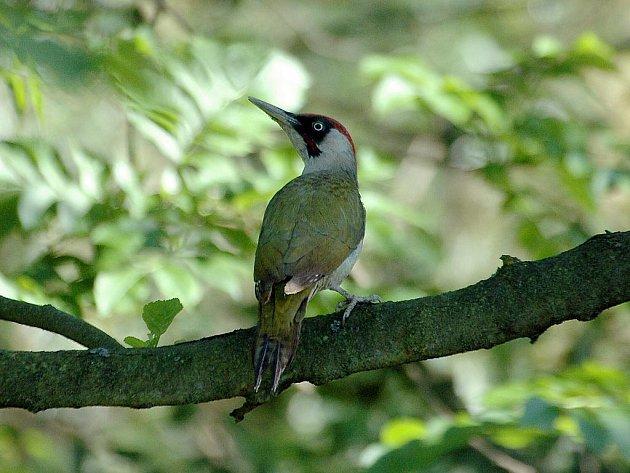 Žluna zelená patří mezi šplhavce, kteří s oblibou prohledávají stromy v břehových porostech, kde pátrají po zástupcích podkorního hmyzu. Je velmi plachá, nejčastěji se prozradí typickým voláním.