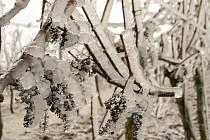 Led na keřích a sněhový poprašek ve vinicích dobšického Lahoferu.