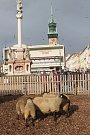Živé ovce na Masarykově náměstí opět zdobí Znojemský advent.