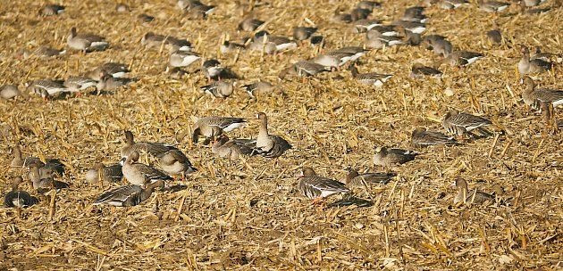 Husy běločelé na poli po kukuřici.