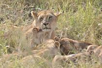 Vzpomínka na skutečné safari v Tanzanii.