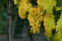 Vrbovečtí vinaři sklízí letošní úrodu.
