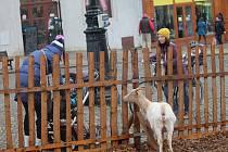 Ohrádka s živými zvířátky je i o letošním adventu v centru Znojma.