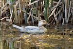 Dva nové druhy kachen i chřástala vodního a další druhy ptáků v rekordním počtu zaznamenali ornitologové v Národním parku Podyjí. Na snímku kachnička karolínská.