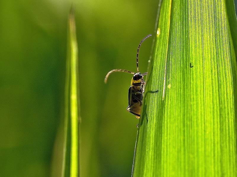 Ze zivota hmyzu v letní trávě.