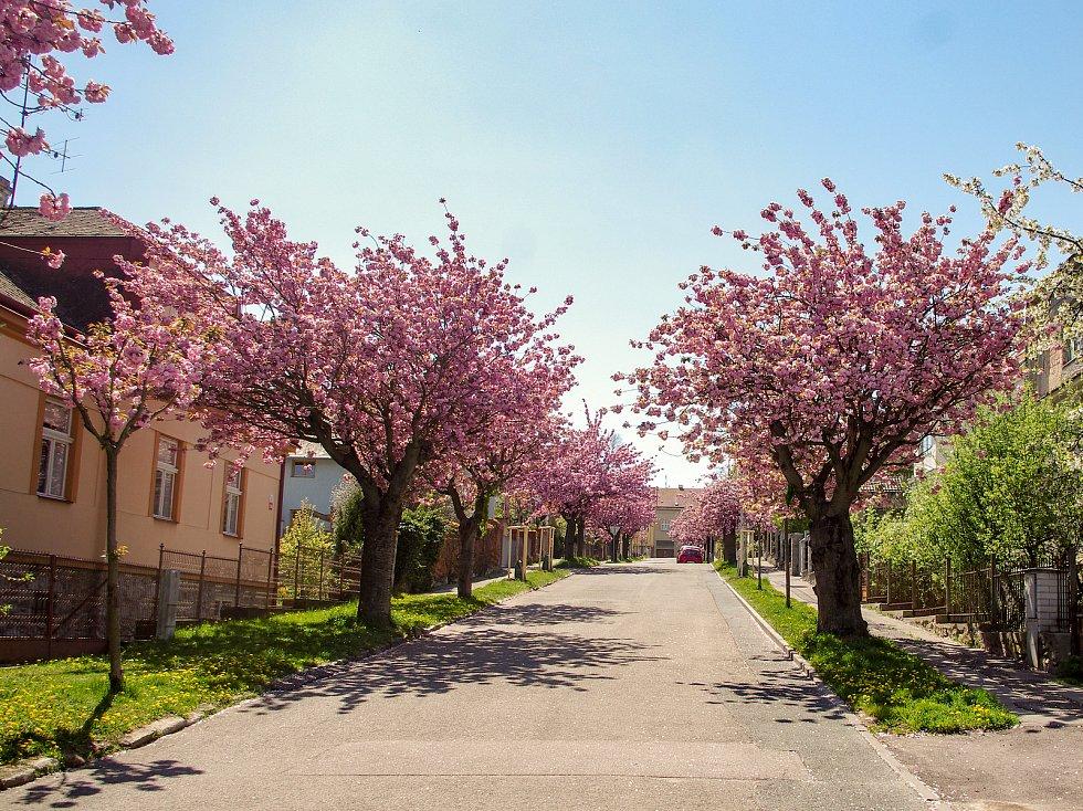 Sakury ve znojemských ulicích v plném květu.