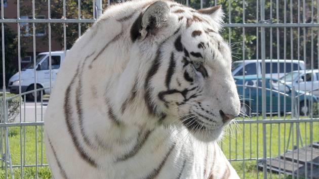 Drezúru jediného bílého tygra, vystupujícího v České republice při cirkusové show, mohou vidět návštěvníci Berousek cirkusu Sultán ve Znojmě.
