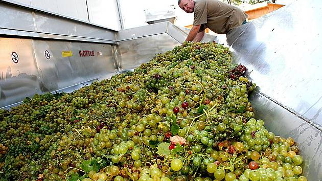 První metráky hroznů odrůdy Iršaj Oliver sklidili dnes dopoledne pracovníci z dobšického Vinařství Lahofer.
