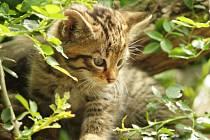 Dvě šestitýdenní koťata vzácné kočky divoké mohou lidé obdivovat ve výběhu návštěvnického centra rakouského Nationalparku Thayatal u Hardeggu.