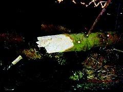 Snímek, který Deníku poskytly Městské lesy Znojmo, ukazuje na prasklý kmen.