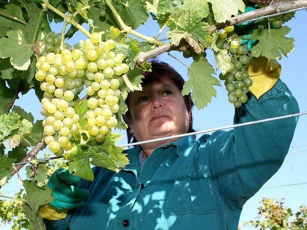 Vrbovečtí vinaři sbírají hrozny pro letošní burčák.