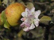 V Podyjí kromě konikleců rozkvetly i jabloně. Na snímku jsou zralá jablka společně s květy.