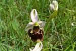 Tořič čmelákovitý je ikonou mezi bělokarpatskými orchidejemi. Roste jen na tamních loukách.