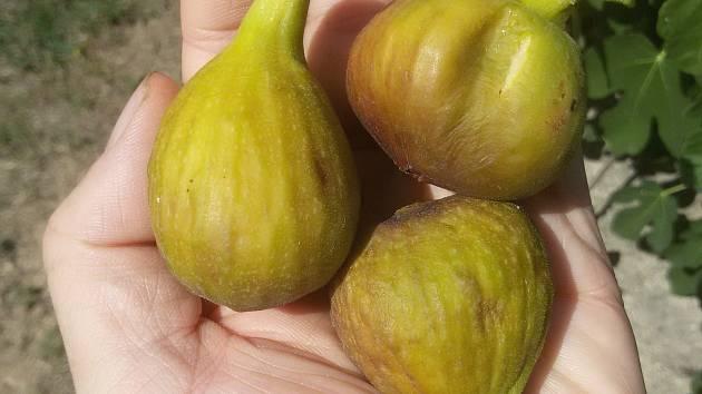 Plody fíkovníků na Znojemsku si svou sladkostí nezadají s těmi, které rostou v Chorvatsku.