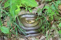 Užovka stromová, nejdelší český had, se vyhřívá v Národním parku Podyjí.