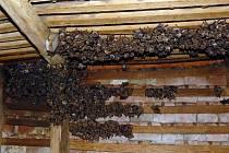 Sedm set padesát chráněných okřídlených savců obývá prostor pod střechou kaple zámku v Jevišovicích. Je to největší kolonie netopýrů na Znojemsku.