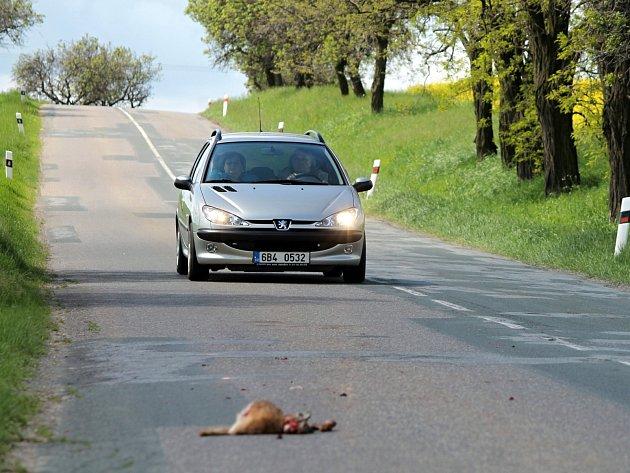Sraženého zajíce museli objíždět řidiči na silnici ze Znojma do Únanova.