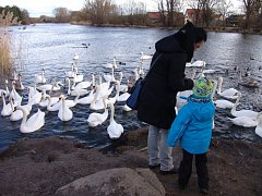 Vyhladovělé labutě chodí krmit k Dyji v dolní části Znojma desítky lidí.