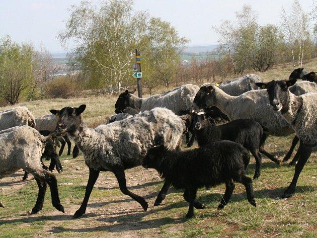 Stádo ovcí na Kraví hoře.