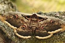 Martináč hrušňový  je největším motýlem nejen u nás, ale i v celé Evropě. Rozpětí jeho křídel dosahuje až 16 cm. V Podyjí se jedná o velmi typický, i když vzácný druh nacházený hlavně v blízkosti lidských sídel.