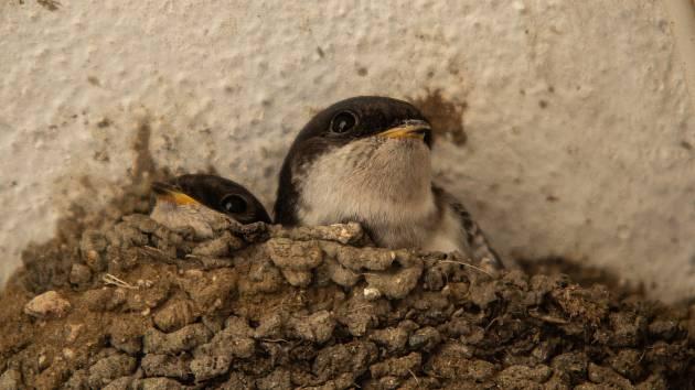 Ornitologové vyzývají lidi, aby jiřičky nechali hnízdit a vytvořili jim vhodné podmínky.