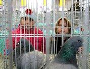 Z výstavy chovatelů holubů, králíků a drúbeže v Práčích.
