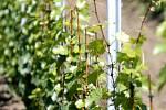 U hranice s Rakouskem blízko Jaroslavic letos vyrostl nový vinohrad.