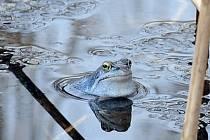 Skokan ostronosý zbarvený do modra pozorovaný přírodovědci v Národním parku Podyjí.