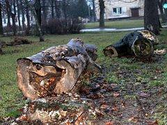 Při plánovaném kácení stromu ve znojemském Dolním parku přišly o své zimoviště čtyři stovky netopýrů rezavých.