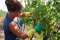 Vinaři z Vinařství Wladberg ve Vrbovci sklidili první hrozny.